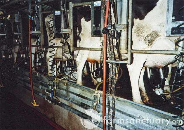 milking machines, dairy cow, dairy, cow, heifer, veal