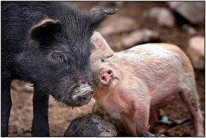 pigs cuddling animal rights vegan veganism vegetarian vegetarianism