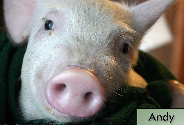 andy pig farm sanctuary rescue