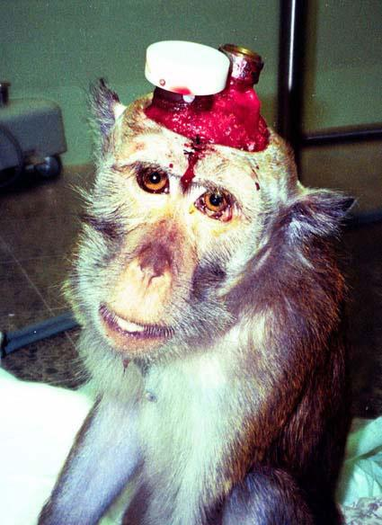 animal testing, primate, vivisection, monkey, animal rights