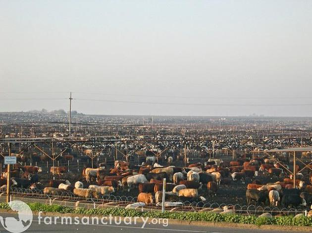 farm sanctuary, cattle, cow, feedlot, meat, beef, burger, steak