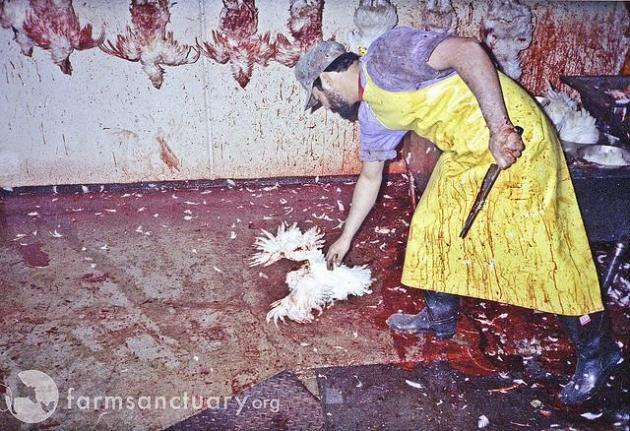 chicken slaughter kill death dead