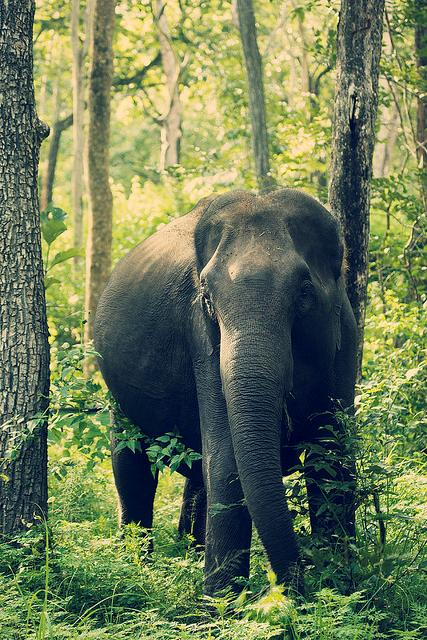 indian, elephant, forest, free, nature