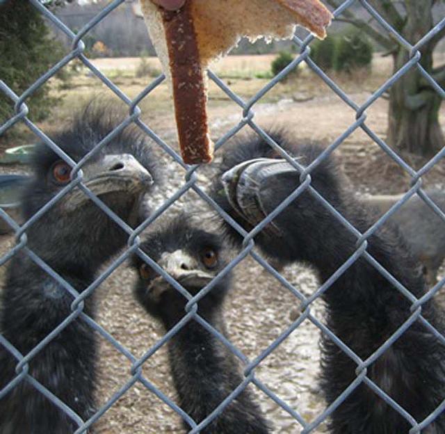 emu eating bread