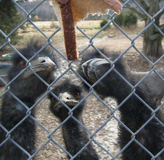 emu eating bread