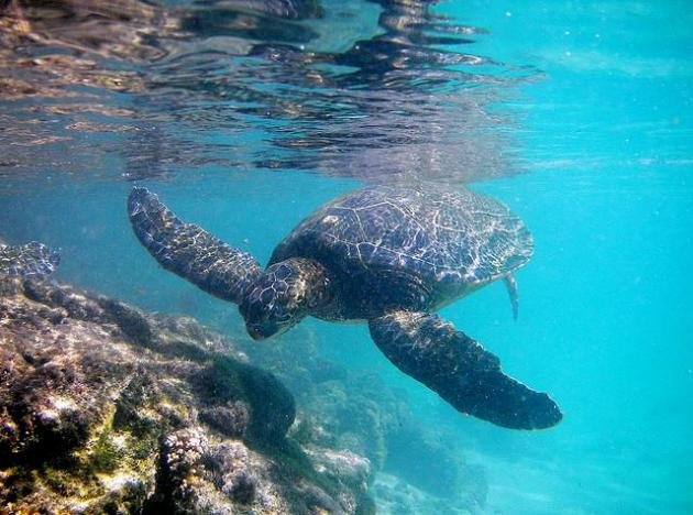 sea turtle, endangered, ocean, sea, coral, reef