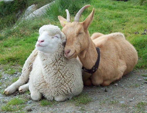 sheep, goat, smiling, cuddling, love, friendship, friends, cute
