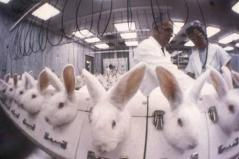 rabbits, white, draize test, vivisection, animal testing, lab, laboratory, cruel, vegan, vegetarian