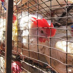 Kapparot With Chickens: On Ritual Slaughter and HumanGreed