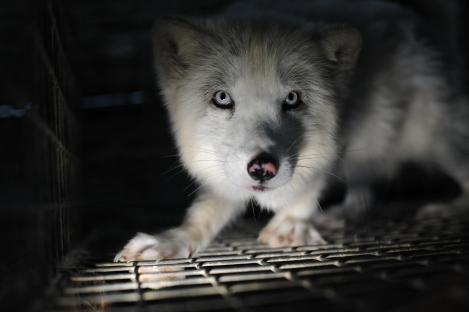 Fox in fur farm